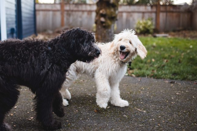 Why Do Dogs Eat Poop and How to Stop It