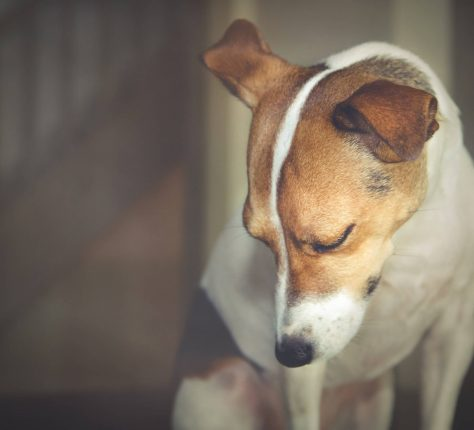 Do Dogs Cry: How Do Dogs Express Sadness and Why Can Tears Pour from their Eyes?
