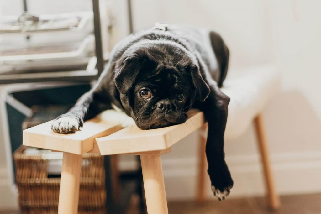 The Laziest Dog Breeds: Perfect Pets for Couch Potatoes