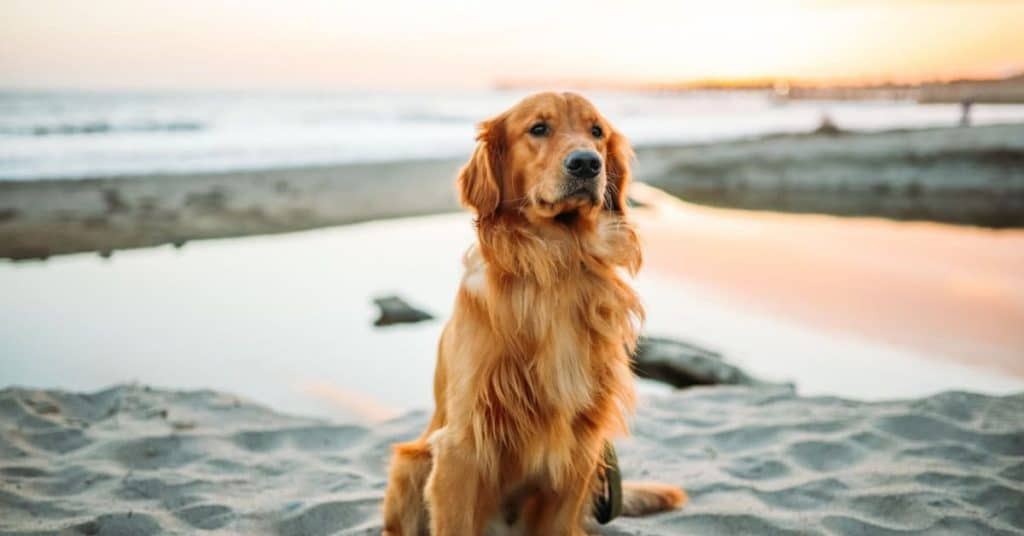 Golden Retriever Facts and Characteristics