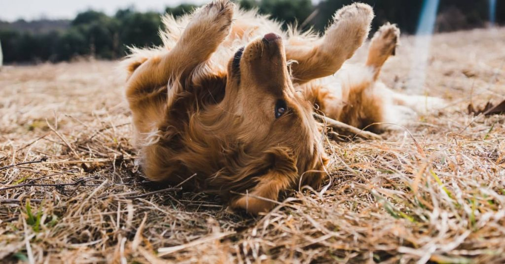 If Humans Can Catch Fleas From Dogs?