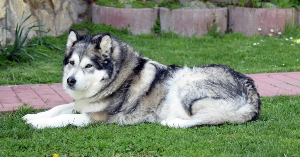 """How To Take Proper Care Of Your Alaskan Malamute Image source:https://pixabay.com/get/g7e127541a88dd80534f0ef5f0eb865db050c72952a6650330c0b6650afece5397849b12d650997532b8555829ce3131f_640.jpg Alaskan Malamutes are loving, gentle, and dependable dogs. When you own one of these furry friends, it is important to know how to care for them properly so they can have a long and healthy life. In this article, we will explore the basics of taking care of your Alaskan Malamute! This includes feeding them, grooming them, socializing with them, and giving them plenty of exercise so that they remain happy and healthy. We've also compiled a list of other things to keep in mind as you take on the responsibility as an owner. Take a look at our guide below! Feeding and treating your Alaskan Malamute One of the most fundamental tips to caring for a dog is feeding them a healthy diet. When you feed your Alaskan Malamute, make sure that you are feeding them high-quality dog food. In addition, they should be fed three to four times a day. If your Alaskan Malamute is very active and working hard outside on those cold days, it might be necessary to feed him more than the average amount of food. Make sure not to overfeed your dog, though! As canine professionals at themalamutemom.com explain, overfeeding has been known to contribute to bone cancer and hip dysplasia in dogs. You'll also need to keep your Alaskan Malamute hydrated at all times by having a constant supply of freshwater for them. Treats are a great way to train your Alaskan Malamute to behave well or do tricks for you. Make the right choice when choosing treats, though! It is important that you never give them human food because not only can it be harmful to their health, but they will also start expecting to be fed this way every time they are """"good"""". Grooming and paying attention to health Alaskan Malamutes, like most dogs, shed their fur constantly. In addition to brushing your dog daily, it is important to brush them once """